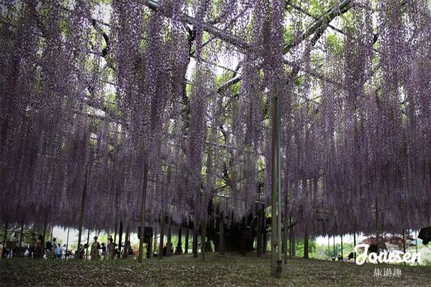 【日本櫪木】關東最大紫藤花園「足利フラワーパーク」