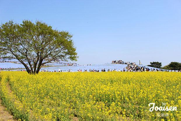 【日本茨城】欣賞藍色夢幻粉蝶花海——「常陸海濱公園」