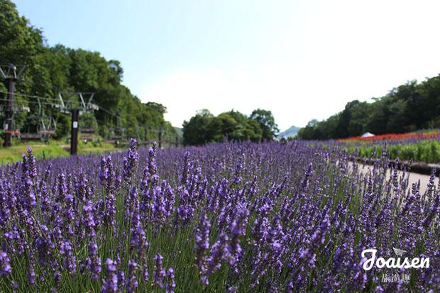 紫紅色薰衣草