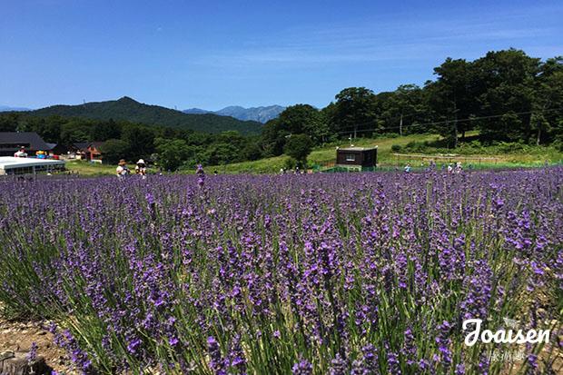 【日本群馬】紫色絨毯!關東夏季最大規模薰衣草田玉原高原「たんばらラベンダーパーク」