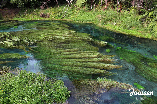 【紐西蘭懷卡托】北島超推薦景點!絕美純淨清澈「藍泉Blue Spring」健行